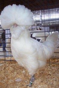 white-polish-chicken